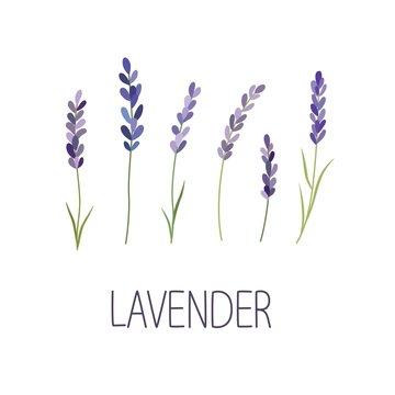 Lavender Flower. Designer for design, logo, lettering