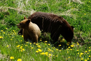 Mother bear eating dandelions while cub is looking around