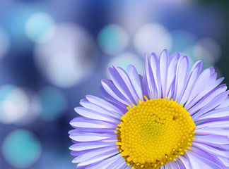 Purple Daisy on Blur Background