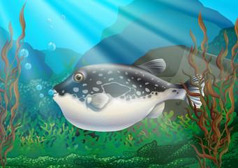 Puffer fish in under ocean
