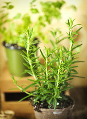 Rosemary herb growing in a pot.