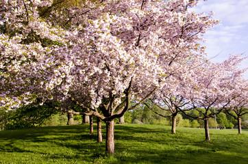 Scandinavian beautiful blooming cherry trees spring 2018
