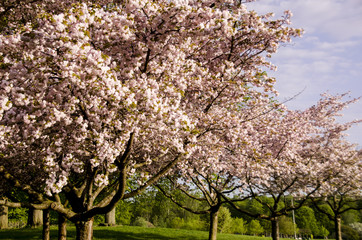 Scandinavian spring time with beautiful blooming cherry trees 2018