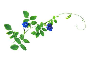 Purple flower,Butterfly pea flower.