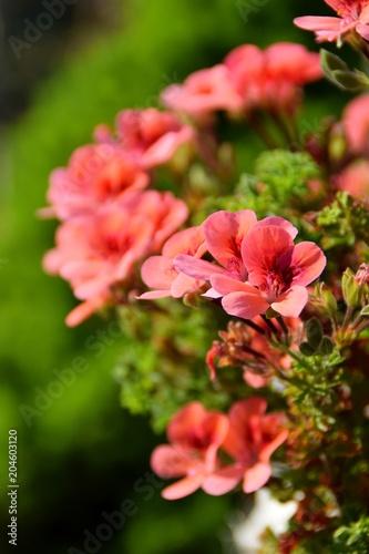Particolare Di Fiori Di Geranio Rosa Su Sfondo Verde Stock Photo