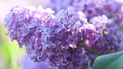 Fotoväggar - Lilac. Beautiful violet flower closeup. Spring lilac flowers blooming in a garden. 4K UHD video 3840X2160
