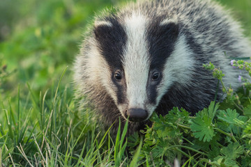 Portrait of young badger behind the sun