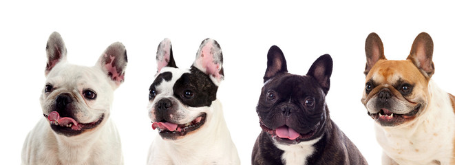 Foto auf AluDibond Französisch bulldog Portrait in Studio of cute bulldogs