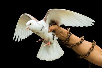 White dove no freedom.