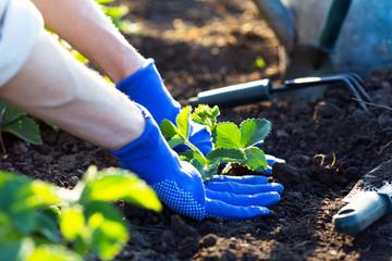 planting strawberries in the garden