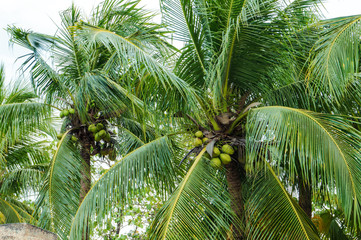 Coconut palm tree with ripe and tender nuts, surrounded by lush green leaves