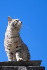 gray tabby cat sitting on the roof and looking up and left at prey against the blue clear sky