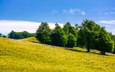 beech forest on grassy hillside. lovely scenery of Carpathian landscape in summer. location Svydovets ridge, Ukraine