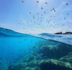 Seabirds (Mediterranean gulls ) flying in the sky and a shoal of fish with rocks underwater sea, split view above and below water surface, Spain, Costa Brava