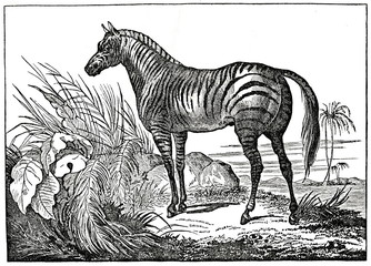 Zebra (from Das Heller-Magazin, October 11, 1834)