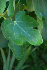 Fig leaves after the rain