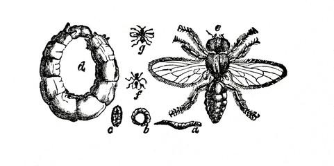 Cheese fly (Piophila casei) (from Das Heller-Magazin, September 6, 1834)