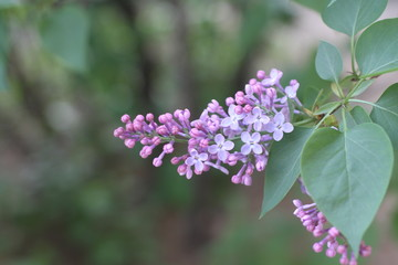 Lilac blooms. A beautiful bunch of lilac closeup. Green branch with spring flowers. Lilac flowers on tree.