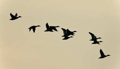 Picture with a swarm of ducks flying in the sky