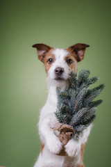 dog jack russell terrier keeps in the paws of the Christmas tree, inside