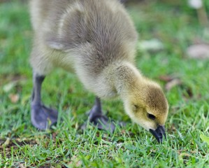 Isolated photo of a cute chick of Canada geese