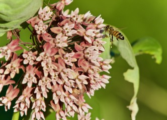 Picture with a honeybee flying near flowers