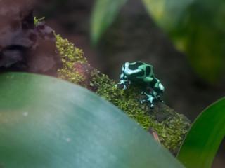 Dendrobates auratus - Dendrobate verde e nero