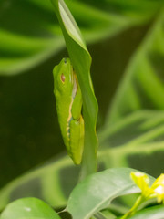 Agalychnis callidryas - Rana dagli occhi rossi