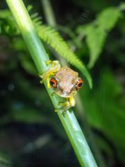 Duellmanohyla rufioculis - Rana occhio rugginoso