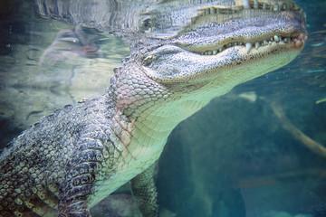 Alligator mississipiensis - Alligatore del Mississipi