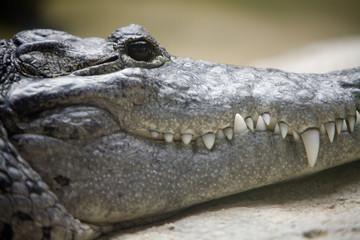 Crocodylus moretti - Coccodrillo di Morelet