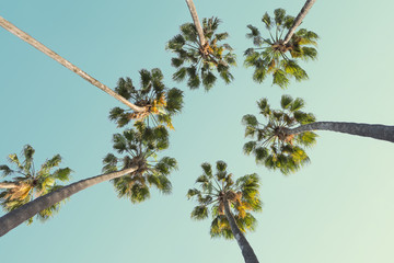 Wall Mural - Tropical palm trees on clear summer sky background. Low Angle View. Toned image