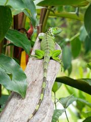 Iguana iguana - Iguana dai tubercoli