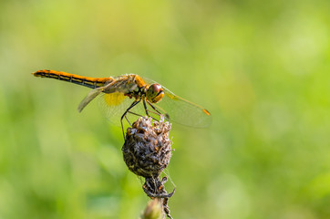 Dragonfly sits on a dry flower bud