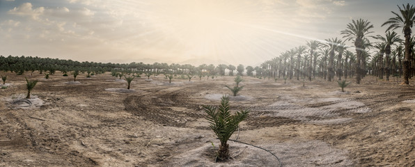 Young plants and plantation of date palms. Image depicts advanced tropical agriculture in the Middle East. Morning with rays of sunrise