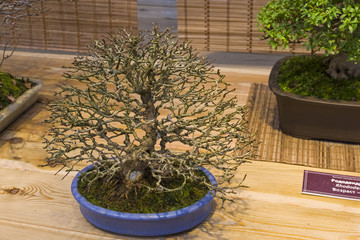 Bonsai tree  - Trident maple