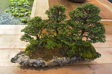 Bonsai tree  - Japanese cypress