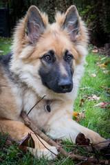 Alsation German Shepherd puppy
