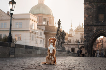 a dog in the city, in Europe at dawn. Nova Scotia Duck Tolling Retriever.