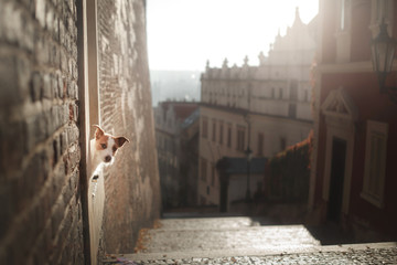 The dog Jack Russell Terrier looks out. Obedient pet in the city, Europe, travel