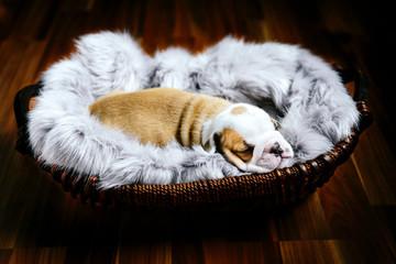 English bulldog puppy sleeping in the basket,selective focus