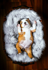 Little bulldog puppy in the basket,selective focus