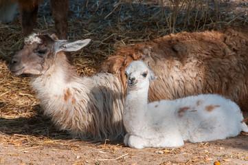 Lama bebé com a mãe
