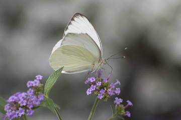 Butterfly 2018-21 / White butterfly on purple flowers