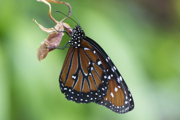 Butterfly 2018-12 / Butterfly grasps on to plant