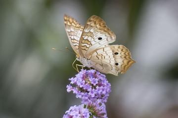 Butterfly 2018-11 / Butterfly on purple flowers