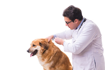 Vet doctor examining golden retriever dog isolated on white