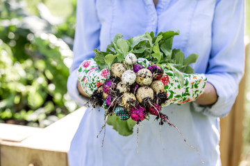 Woman is harvesting radishes from the raised bed