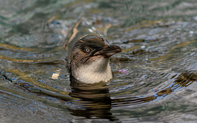 Little Penguin in the water