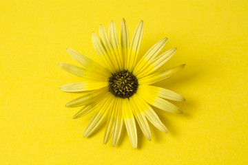 daisy isolated on yellow background